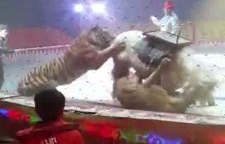 حمله شیر و ببر به اسب در سیرک